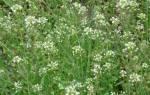 Кровоостанавливающие травы при маточных кровотечениях