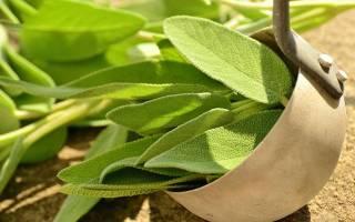 Шалфей трава, чем полезна для женщины