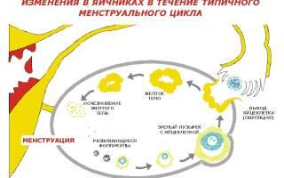 УЗИ-фолликулометрия: как делают?